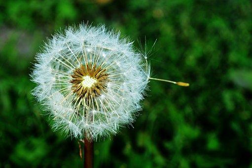 Dandelion, Dressing-gown Dandelion, Nature, Plant