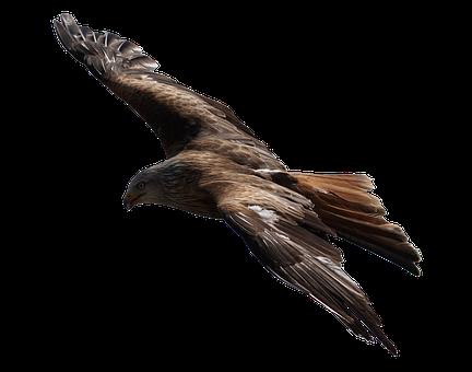 Adler, Raptor, Bird Of Prey, Bird, Fly, Flight, Animal