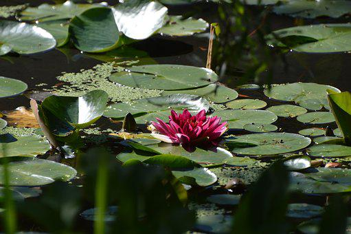 Flower, Water, Water Lily