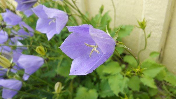 Blue Bell, Blue, Watch, Summer, Flowers, Flower