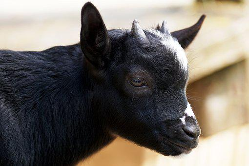 Kid, Young Goat, Goat, Fur, Animal, Animal World