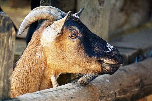 Billy Goat, Goat, Horns, Livestock, Animal