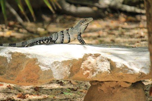 Iguana, Tulum, Quintana Roo, Resting, Animal, Mexico