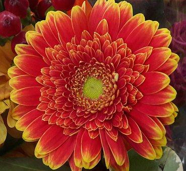 Gerbera, Orange, Yellow, Orange Flower