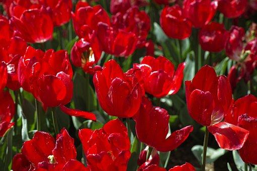 Red, Tulips, Flower, Environmental, Plant, Flowers