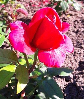Plant, Flower, Ros, Flowers, Plants, Summer, Flowering