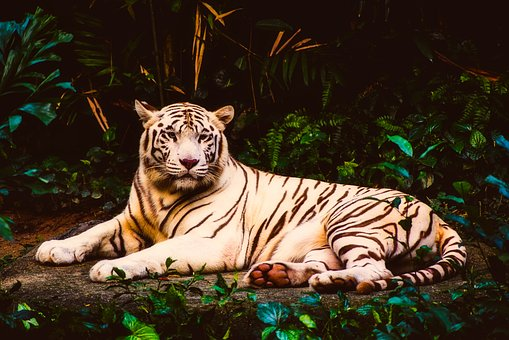 Tiger, Albino, Rare, Wildlife, Predator, Animal