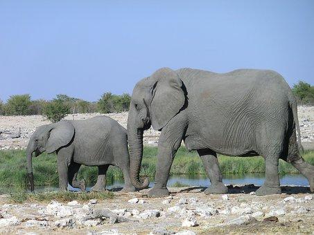 Elephant, Animal, Africa, Safari, Pachyderm, Proboscis