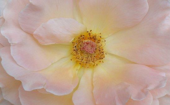 Soft Pink, Rose, Splendor Bloomed