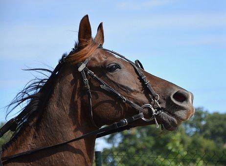 Horse, Reins, Net, Eye, Horseback Riding, Brown, Sport