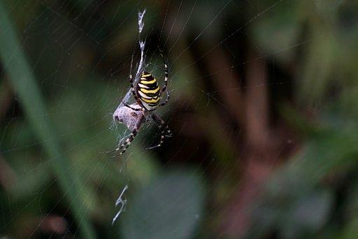Wasp Spider, Argiope Bruennichi, Zebraspinne