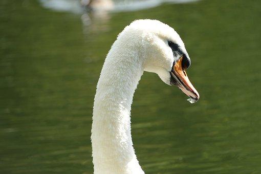 Swan, Mute Swan, Species, White