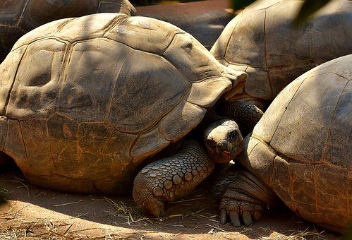 Giant Tortoises, Animals, Panzer, Zoo