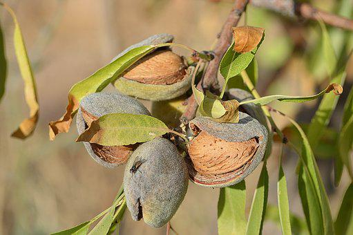 Almonds, Maturation, Dried Fruits, Almond Tree