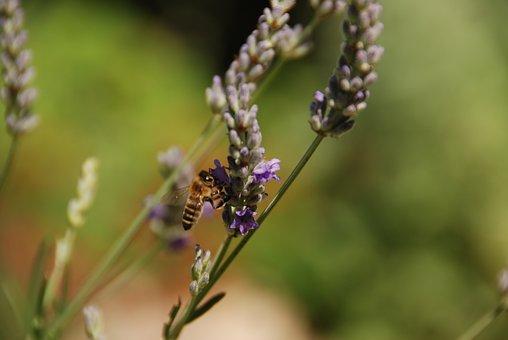Lavender, Flower, Bee, Plant, Purple, Blossom