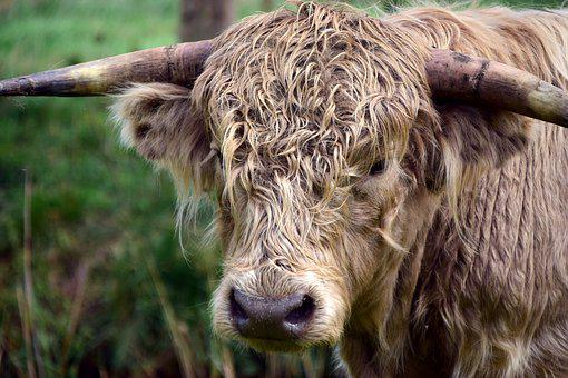 Beef, Highland Beef, Galloway, Bull, Boy, Free Housing