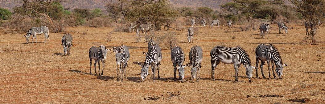 Zebra, Grevy, Flock, Freedom, Savannah, Eat, Graze