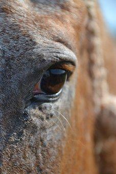 Horse, œil, Close Up, Horse Eye, Equine, Eyes, Head