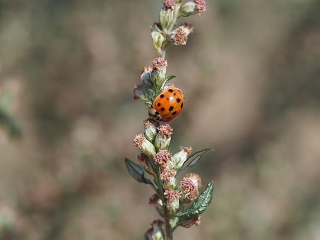 Ladybug, Insect, Beetle, Nature, Flower, Meadow