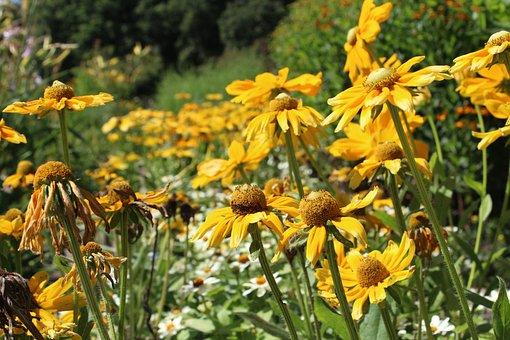Flowers, Sun Hat, Perennials, Yellow
