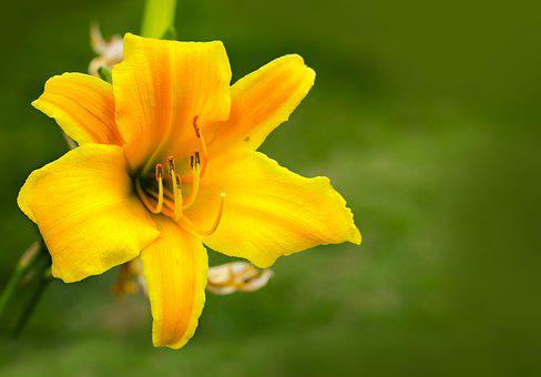 Flower, Amare, Yelow, Plants, Nature, Flowers