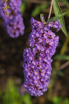 Perennial, Flowers, Shrubs, Garden, Plants, Nature