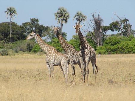 Giraffe, Giraffes, Botswana, Safari, National Park