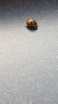 Ladybug, Bug, Insect, Ladybird, Indoor, Small, Surface