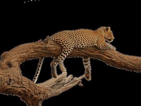 Leopard, Acacia, Overview, Savannah, Isolated, Safari