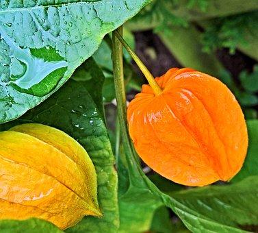 Plant, Lampionblume, Nachtschattengewächs