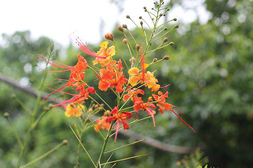 Tree, Fire Tree, Bloom, Summer, Nature, Natural