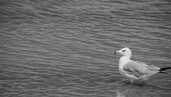 Seagull, B W, Black And White, Water, Beach, Ocean, Sea