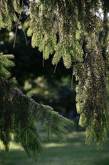Pine Needles, Summer, Tree