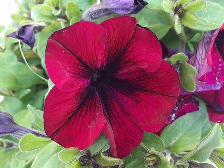 Petunia, Red Petunia, Flower, Plant, Flowers, Plants