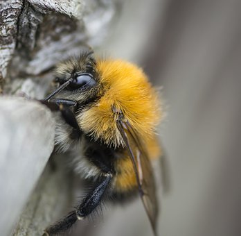 Bee, Insect, Pollinator, Pollen, Wild, Wax, Fly, Wing