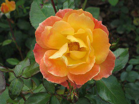 Orange Blossom, Rose, Orange Rose