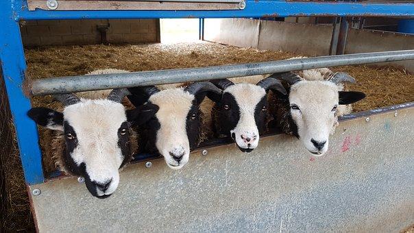 Sheep, Animals, Farm, Nature, Livestock