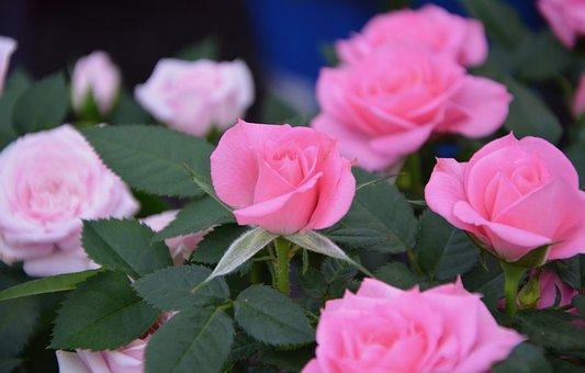 Pink, Rosebush, Plant, Garden, Massif, Shrub