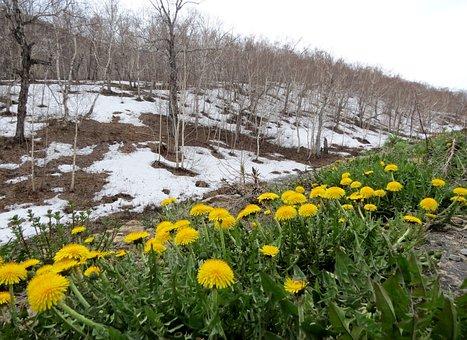 Spring, Dandelions, Slope, Flowers, Primroses, Snow