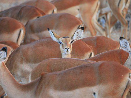 Impala, Flock, Center, Stand Out, Striking, Antelope