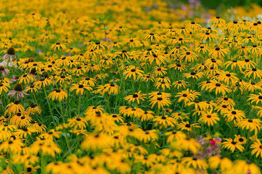 Sunflower, Pasture, Field, Meadow, Yellow, Nature