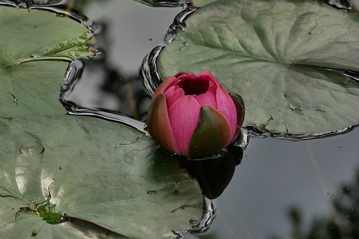 Water Lily, Pond, Water, Flower