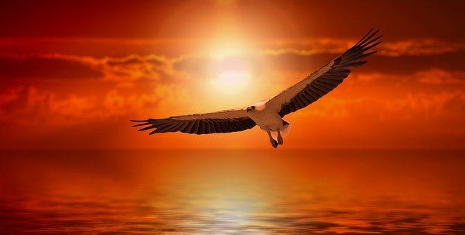 White Tailed Eagle, Adler, Sunset, Fly, Flight
