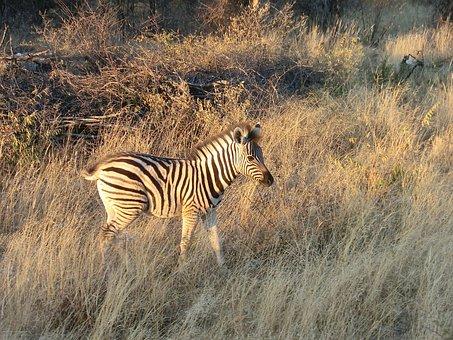Zebra, Africa, Safari, National Park, Wildlife, Namibia