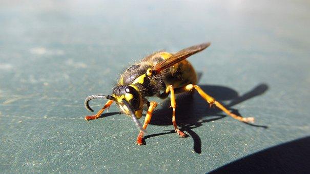 Bee, Animal, Yellow