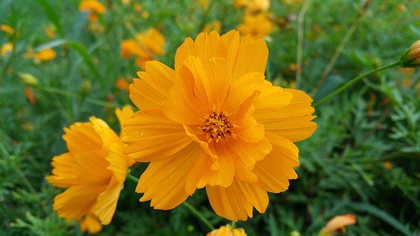 Orange Flowers, Yellow Flowers, Nature