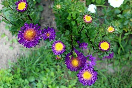 Astra, Flowers, Garden, Nature, Plant, A Garden Plant