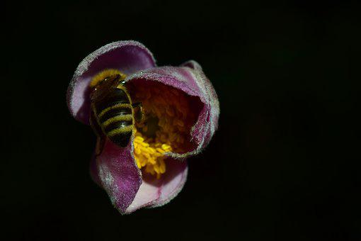 Anemone, Bee, Close, Food, Search, Sprinkle
