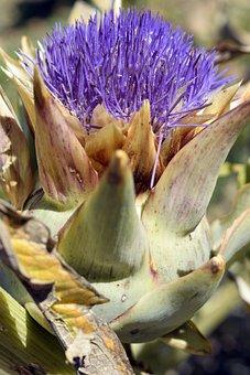 Artichoke, Artichoke Flower, Flower, Orchard