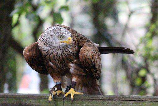 Hunter, Hawk, Bird, Wildlife, Predator, Feather, Flying